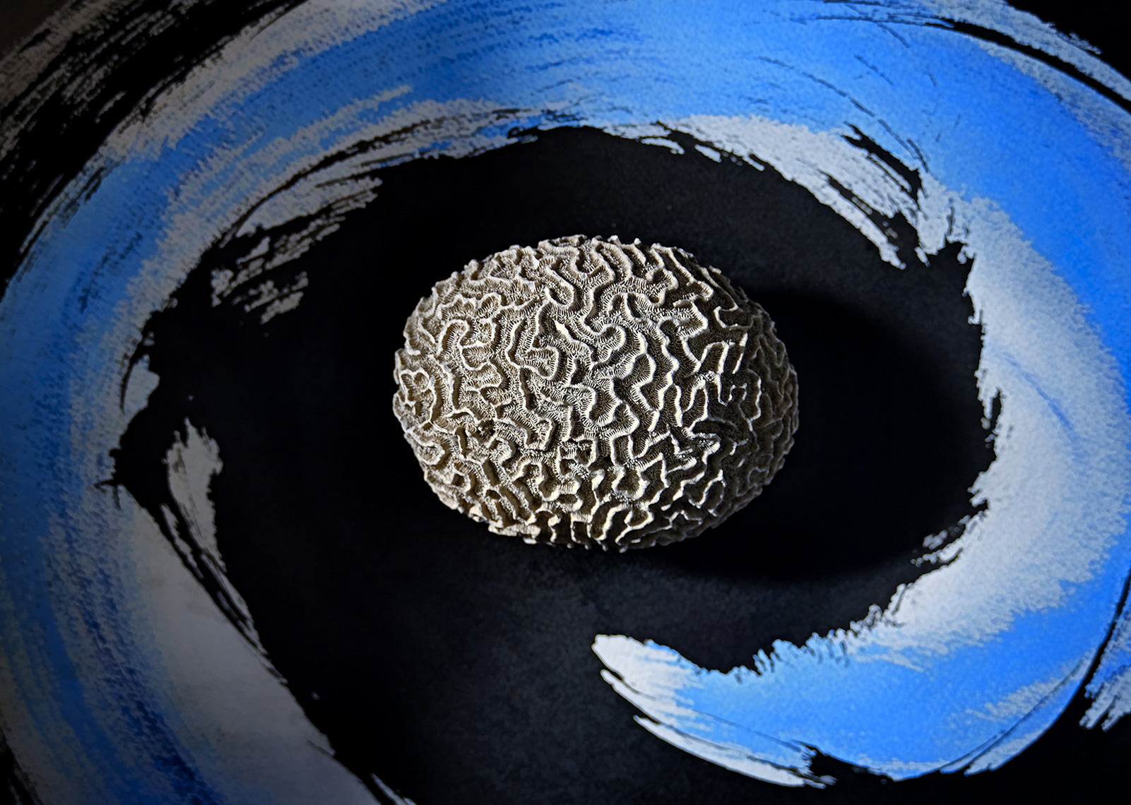 davidhoptman_still-life-photo-STILL LIFE WITH BRAIN CORAL