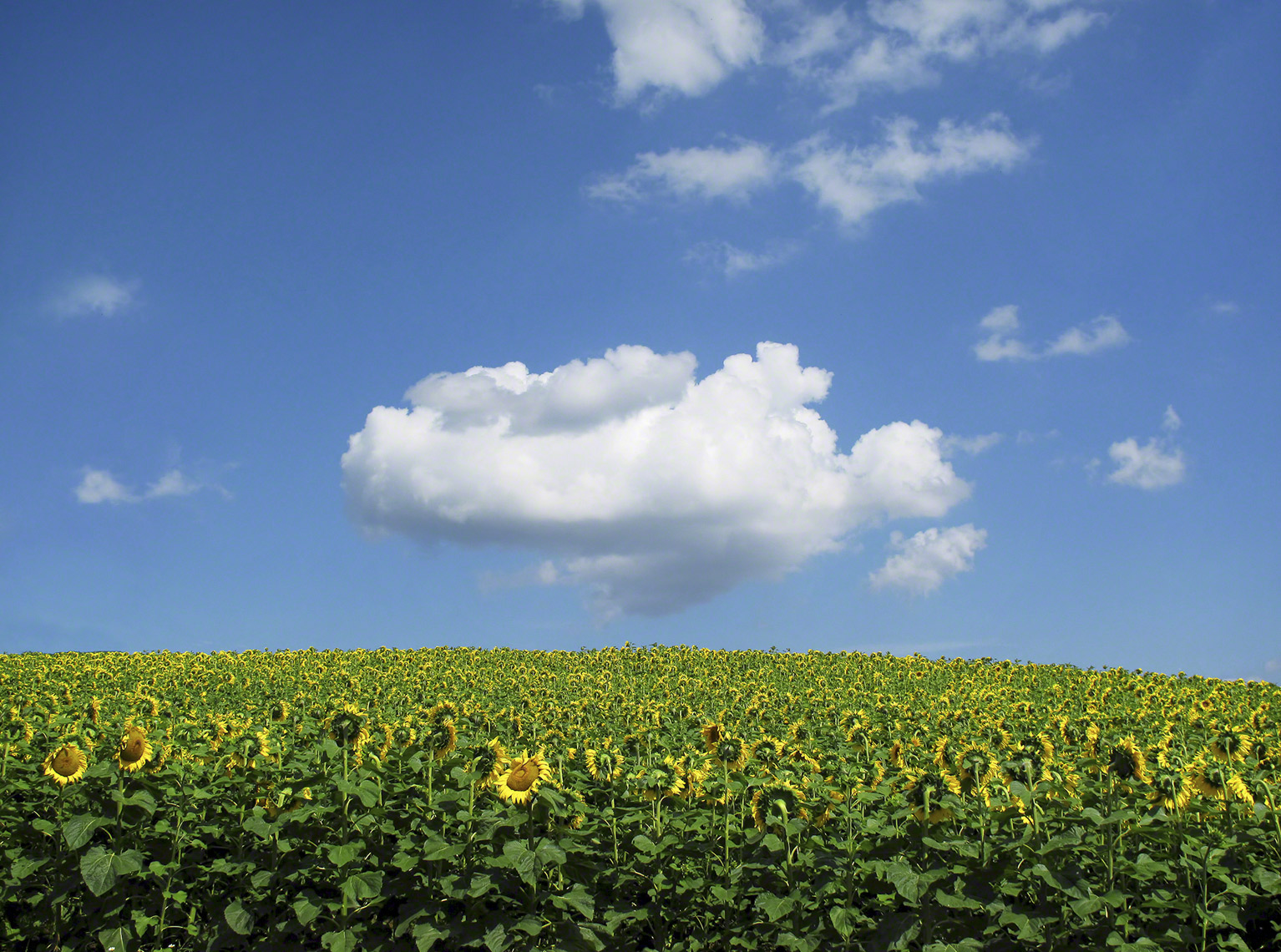 ONE CLOUD OVER SUNFLOWERS