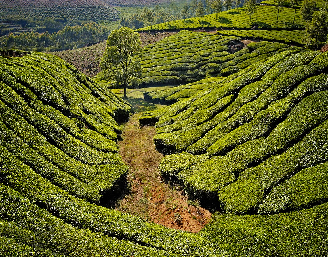 tea-fields-gully11_14finalweb