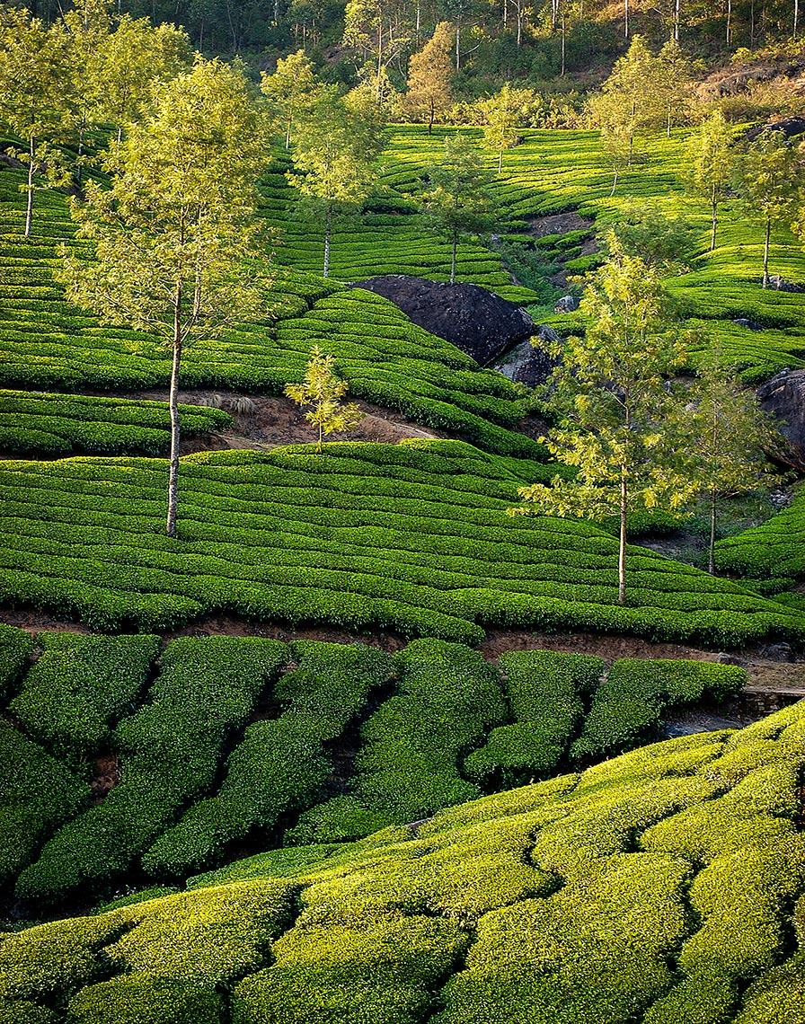 TEA FIELDS KERALA INDIA 2